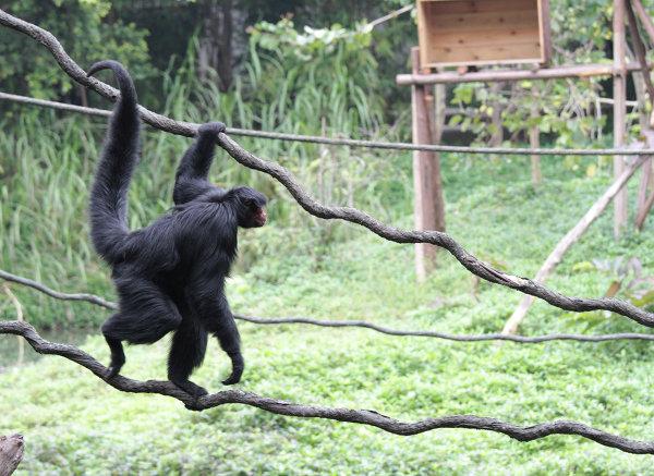 Обезьяна в ChimeLong Safari Park, Китай