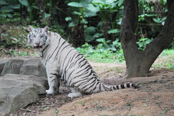 Белый тигр в ChimeLong Safari Park в Китае