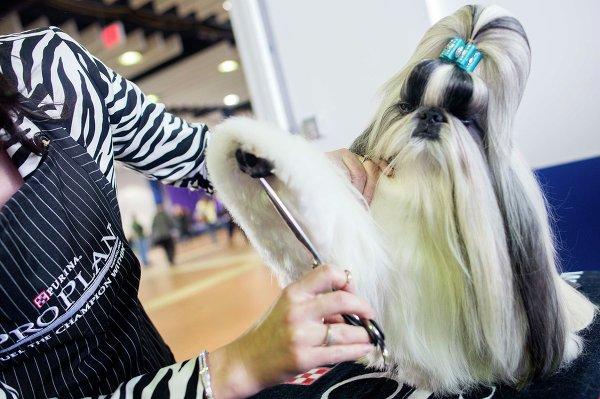 Ши-тцу во время 137-й международной выставки собак Westminster Kennel Club в Нью-Йорке