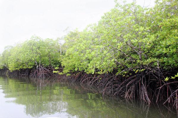 Мангровый лес вдоль побережья Андаманских островов
