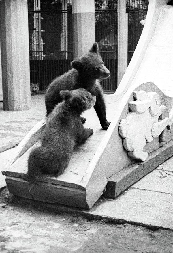 Гималайские медвежата