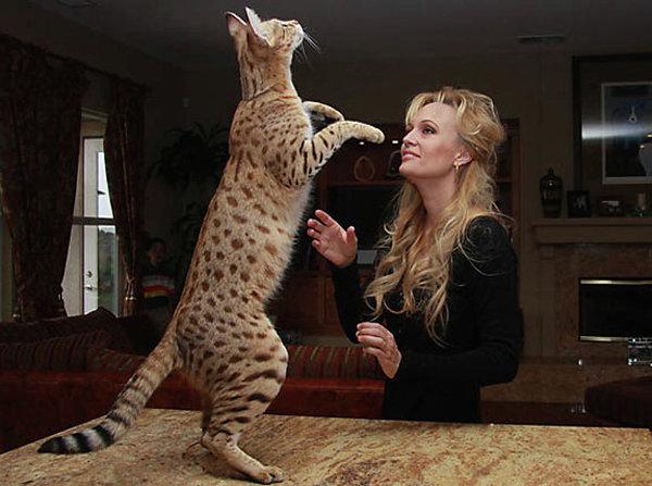 Кошка породы Саванна по кличке Мэджик
