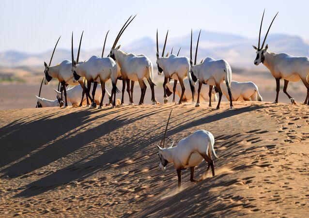 Des gazelles oryx