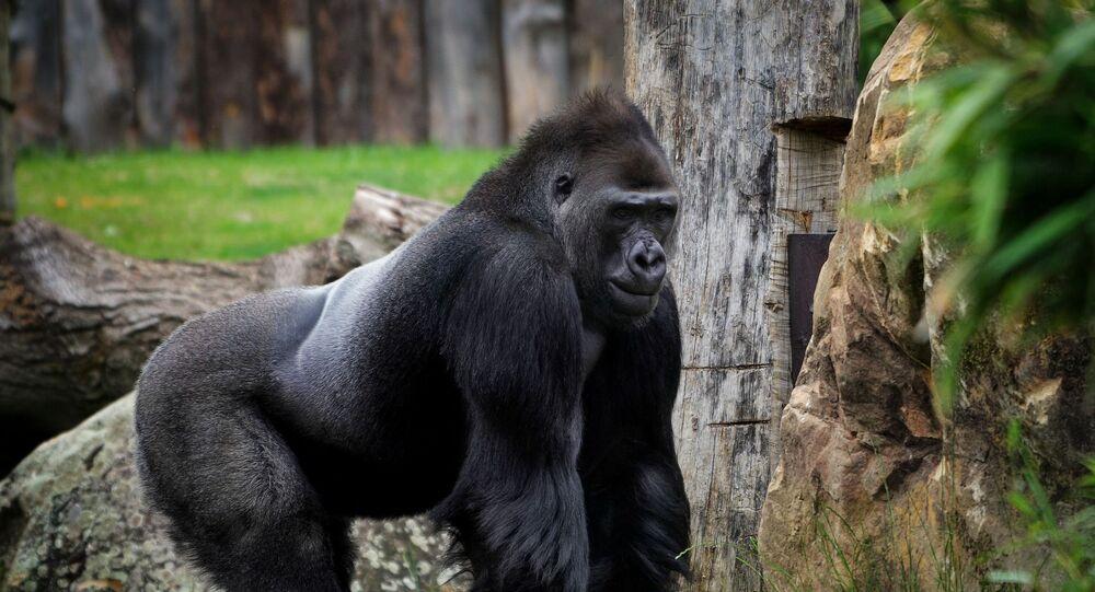 Un gorille (image d'illustration)