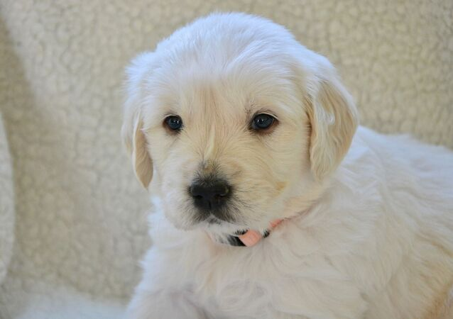 Un chiot golden retriever