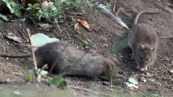 Des chercheurs diagnostiquent des cancers à des rats irradiés au portable - Sputnik France