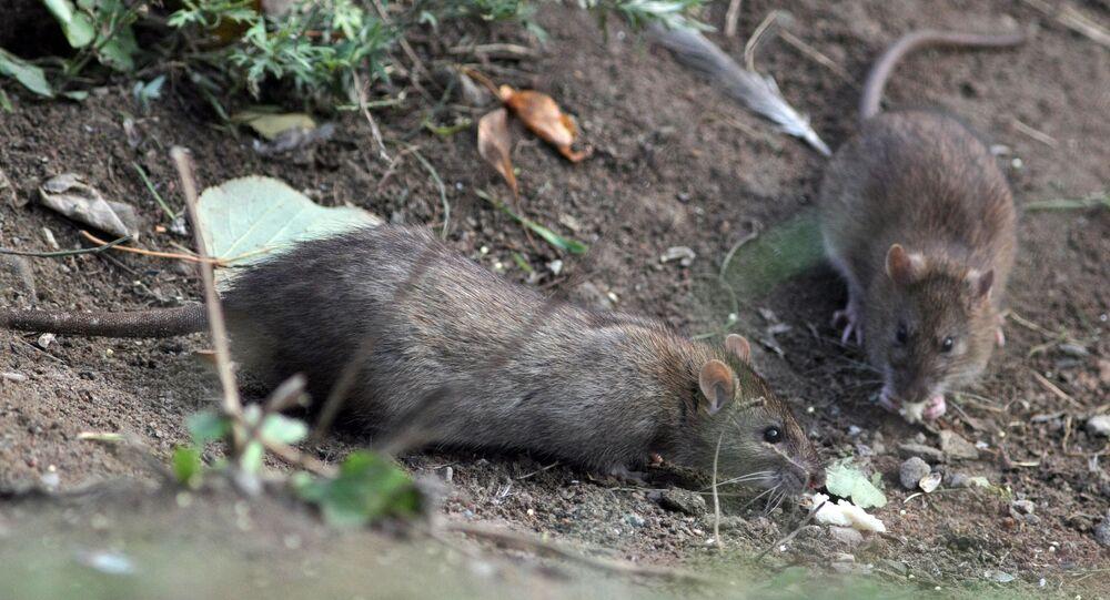 Des chercheurs diagnostiquent des cancers à des rats irradiés au portable
