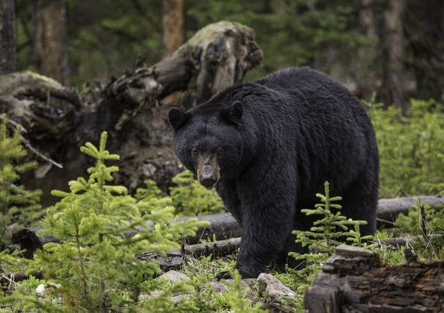 Un ours noir (image d'illustration)