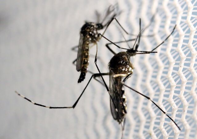 moustiques de l'espèce Aedes aegypti