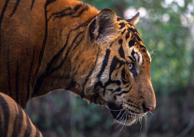 Un tigre du Bengale