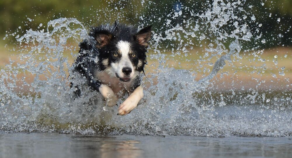 Un border collie