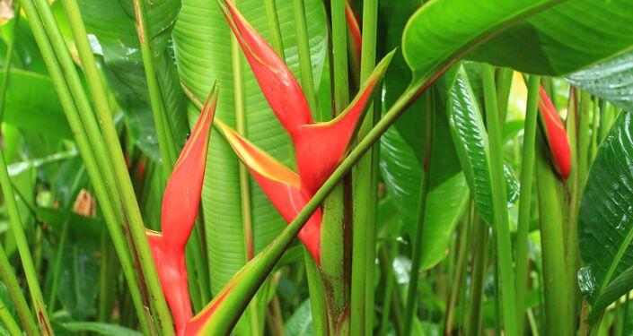 Des Heliconia bihai, également appelés becs de perroquet