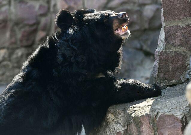 Un ours noir d'Asie (image d'illustration)