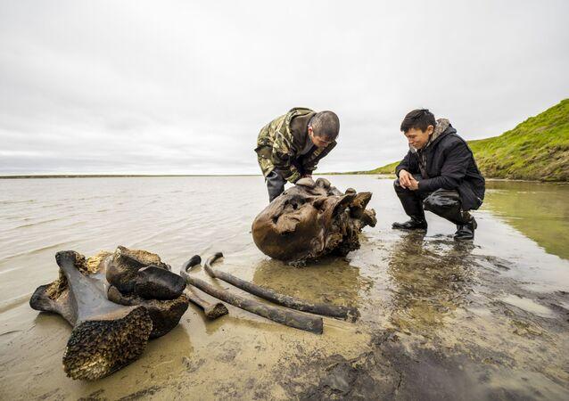 Un squelette de mammouth adulte mis au jour sur la péninsule de Yamal