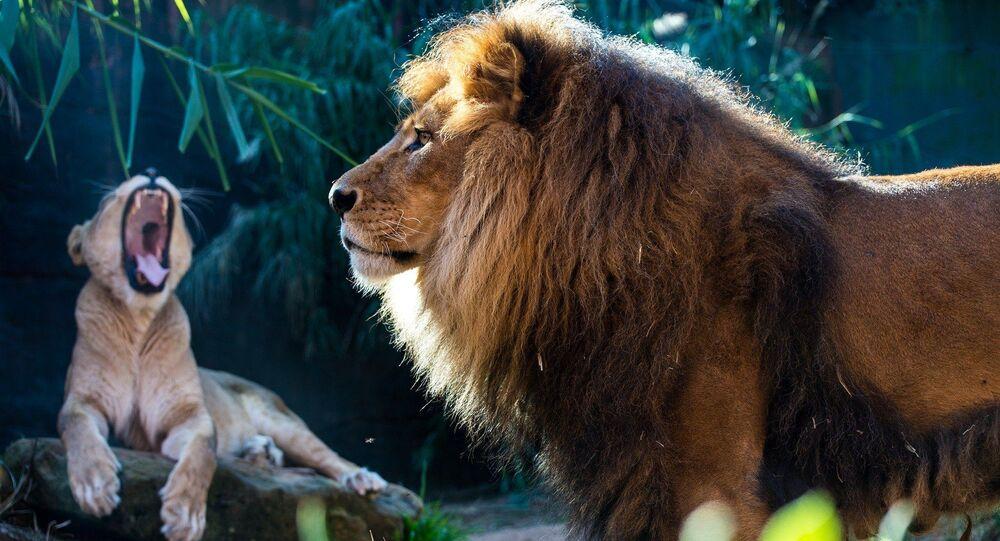 Un lion et une lionne