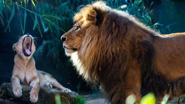 Un lion et une lionne - Sputnik France