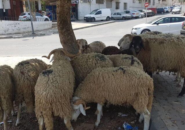 Une dizaine de moutons mis en vente dans le quartier algérois de Aïn Naadja, à l'occasion de l'Aïd el-Kébir