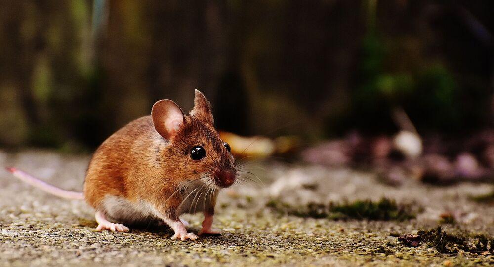 Une souris (image d'illustration)