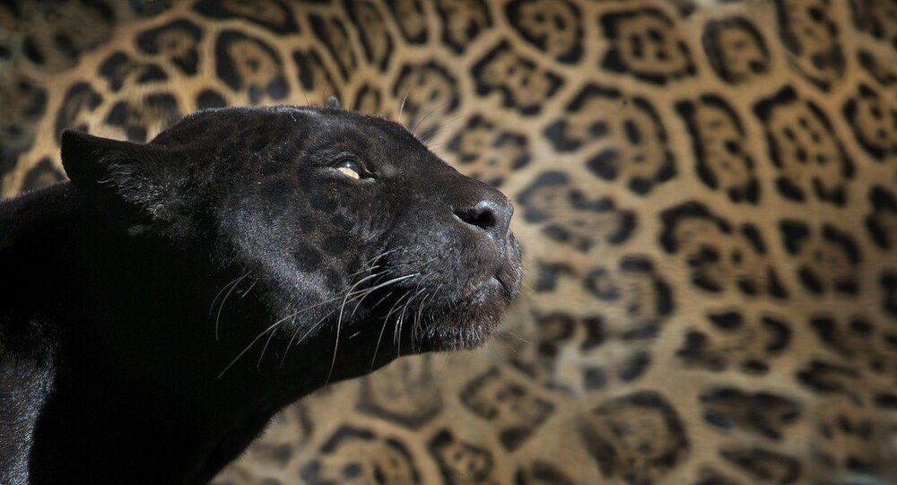 Léopard noir, image d'illustration
