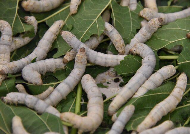 Des vers à soie
