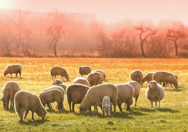 Des moutons au pâturage