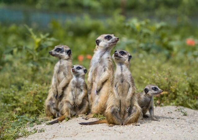 Des suricates