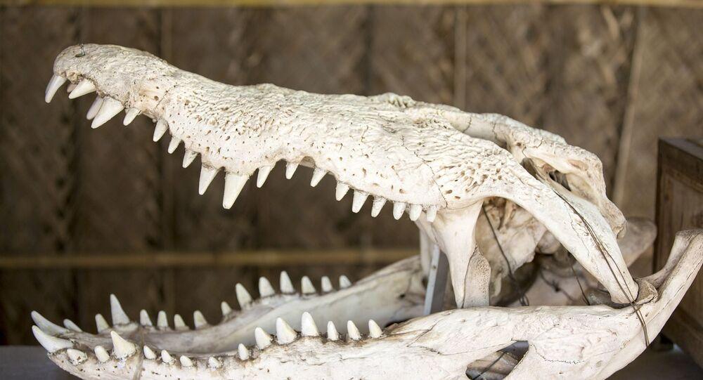 Crâne d'un alligator