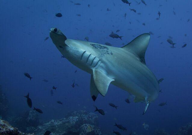 Un requin-marteau (image d'illustration)