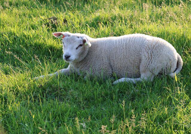 Un mouton de race Texel