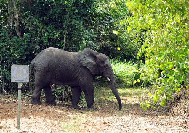 Un éléphant en Côte d'Ivoire