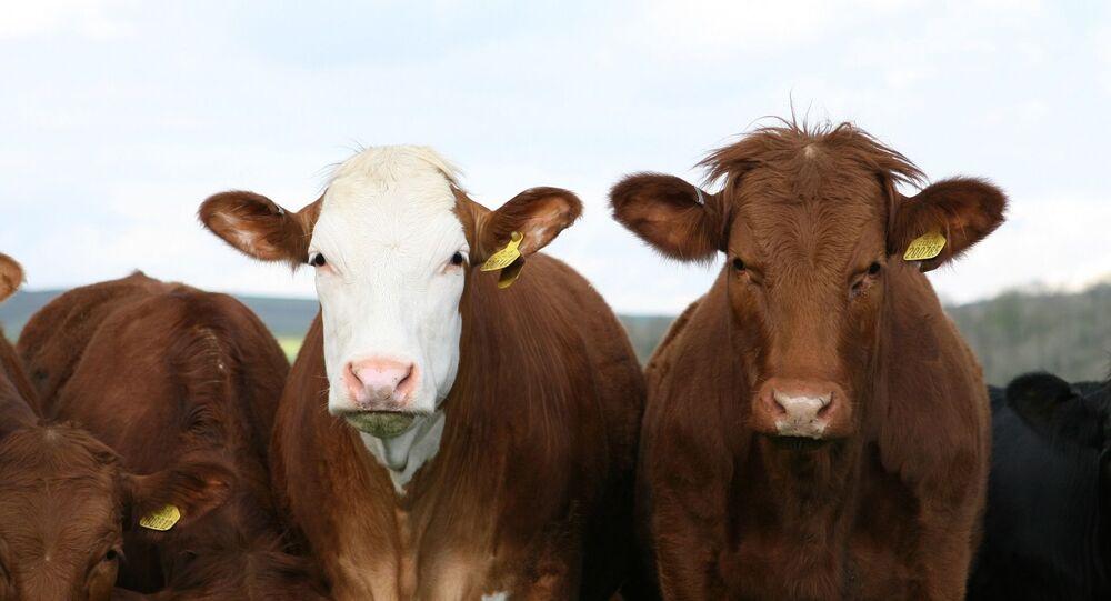 Des vaches (image d'illustration)