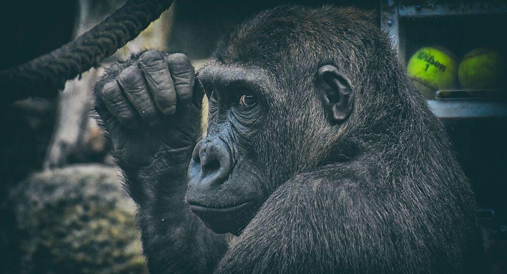Madrid : une gardienne de zoo grièvement blessée par un gorille