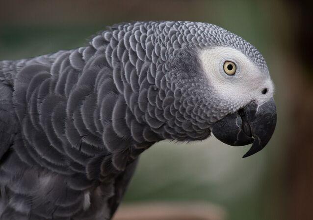 Un perroquet gris d'Afrique