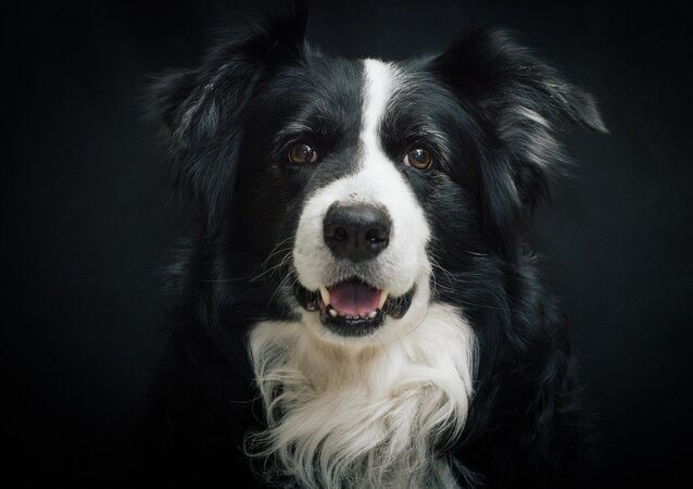Un border-collie