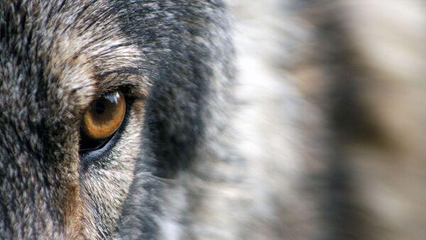Un loup (image d'illustration) - Sputnik France