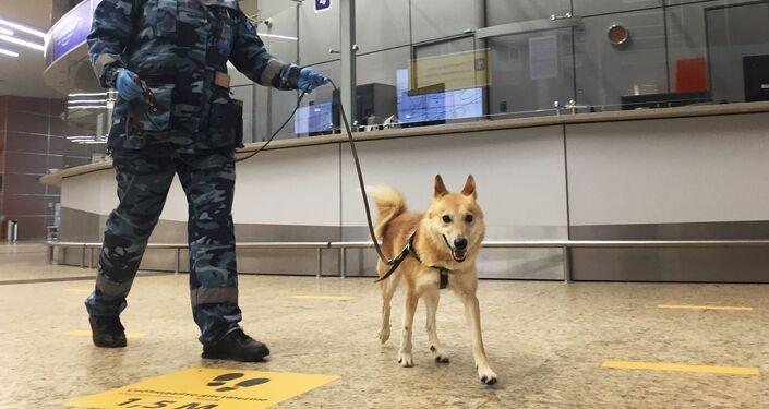 Le Chalaïka, un hybride issu du croisement de chacals et de laïkas, à l'aéroport Cheremetievo de Moscou