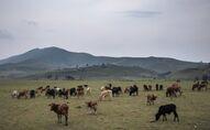 Un troupeau sur les terres de Minembwe, dans le Sud-Kivu en RDC