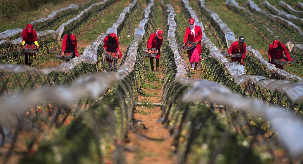 Des femmes ramassent des fraises dans la province de Kenitra, Maroc