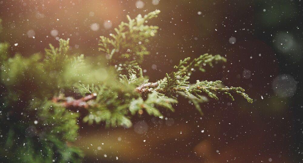 Sapin, hiver