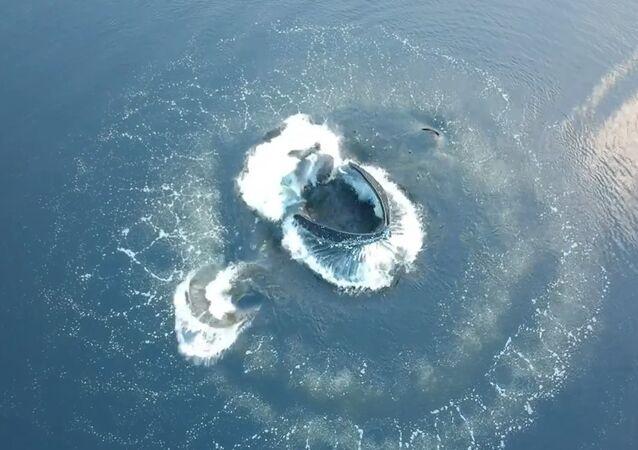 Une baleine à bosse sort de l'eau au milieu d'un «anneau de bulles»