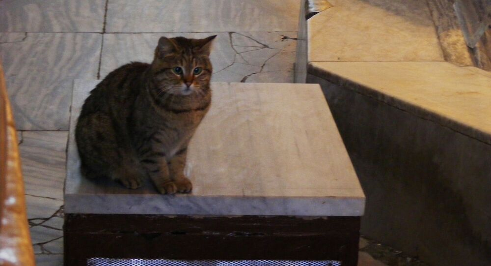 Gli, chat de Sainte-Sophie d'Istanbul (archive photo)