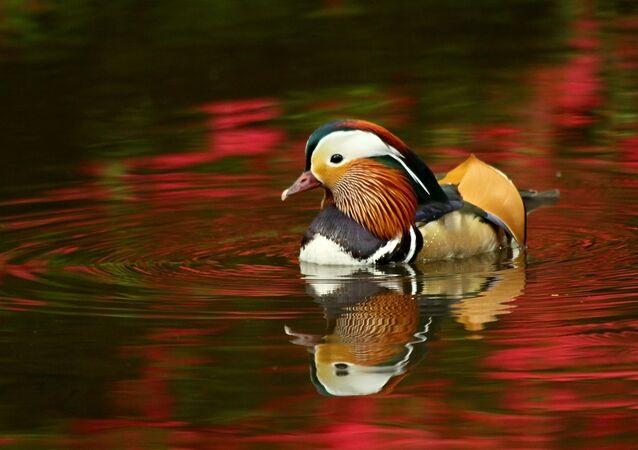 Un canard mandarin (image d'illustration)