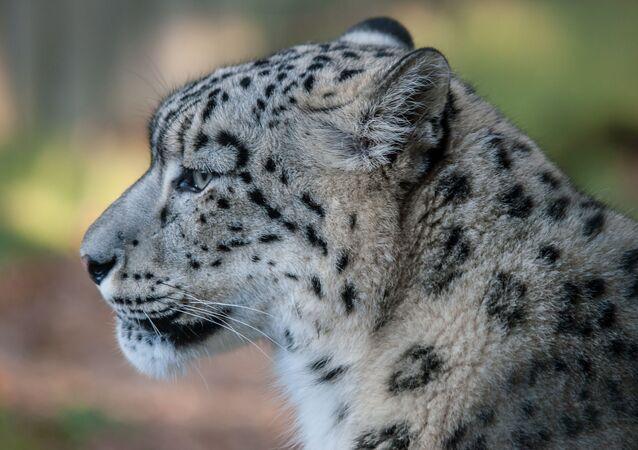 Un léopard des neiges
