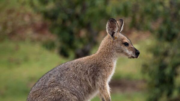 Un wallaby - Sputnik France
