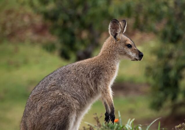Un wallaby