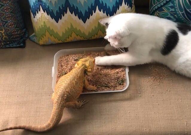 Un chat aide un lézard à manger son petit déjeuner