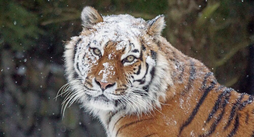 Un tigre en hiver (image d'illustration)