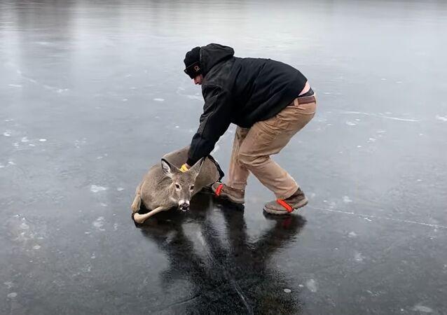Sauvetage d'un chevreuil d'un lac gelé