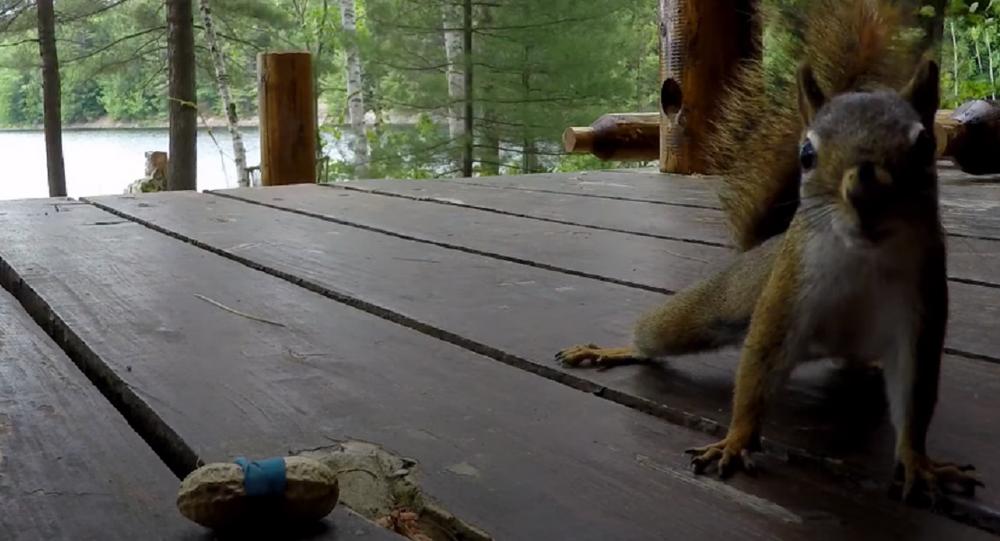 Esta ardilla se quedó atónita ante la imposibilidad de comer su cacahuete