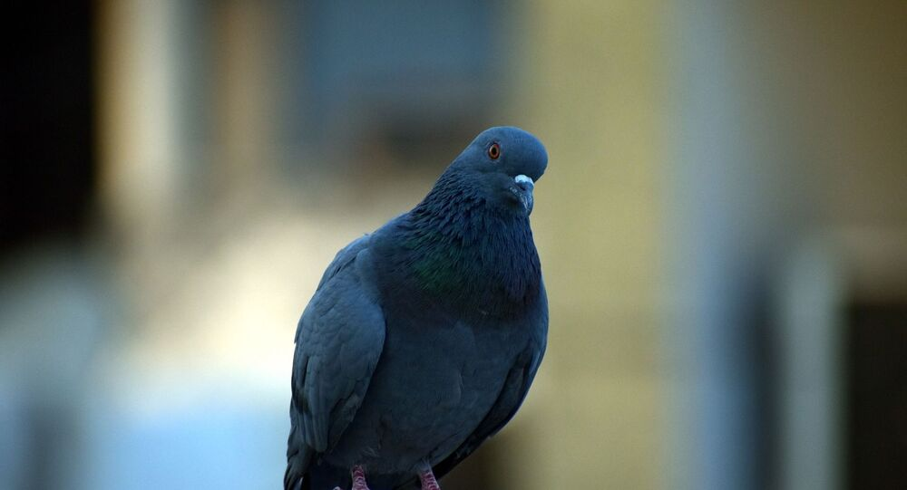 Un pigeon voyageur (image d'illustration)